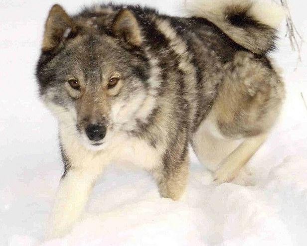 Hunting Laika Breeds Of Russia West Siberian Laika